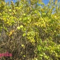плоды маклюры на дереве