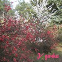 Хеномелес японская айва посадка, уход, размножение У дачки