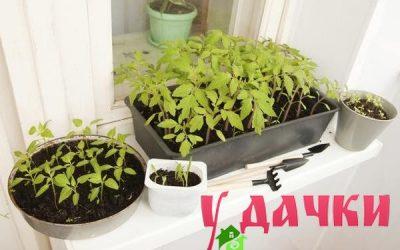 Как вырастить рассаду помидоров здоровой и сильной